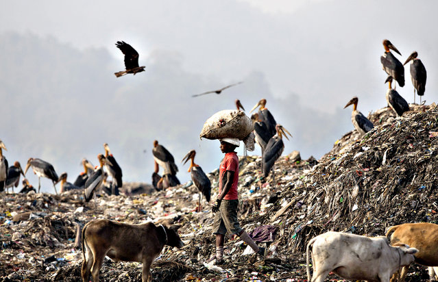 An Indian boy carries recyclable materials past greater adjutant storks at a garbage dumping site on the outskirts of Gauhati, India, Monday, January 26, 2015. (Photo by Anupam Nath/AP Photo)