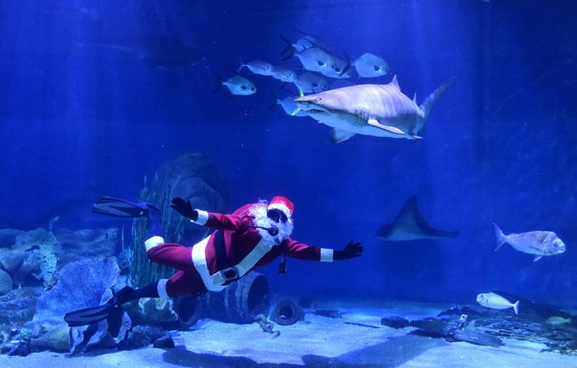 A person in a Santa Claus outfit swims with sharks during a promotional event for the Melbourne Aquarium in Australia December 22, 2015. (Photo by Julian Smith/Reuters/AAP)