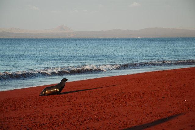 Sea lion on rabida island. (Photo by Tony Olivett)