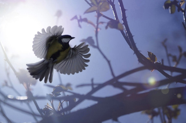 Undated handout photo issued by the British Wildlife Photography Awards of a great tit in flight by James Amess which won the Wildpix Young People's 12-18 Award in the British Wildlife Photography Awards 2013. (Photo by Joseph Amess/BWPA/PA Wire)