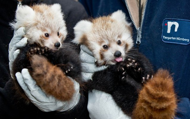 The Nuremberg Zoo in Germany on Friday released the first photos of a couple adorable red panda cubs born July 6, 2013, and boy are they ever cute. (Photo by Daniel Karmann/AFP Photo/DPA)
