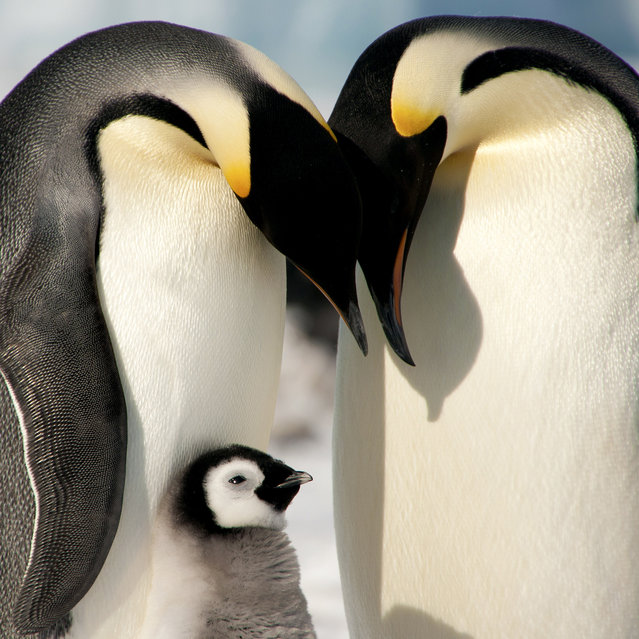 Two adult Emperor penguins and a baby one. (Photo by Dafna Ben Nun/Caters News)