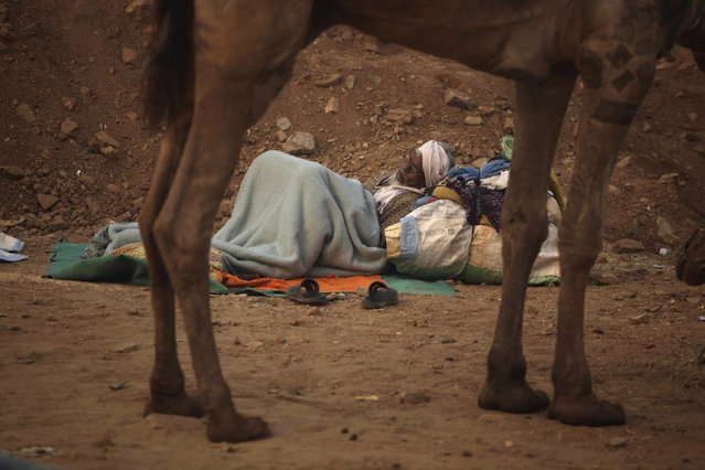 An Indian camel herder rests during the annual cattle fair in Pushkar, in the western Indian state of Rajasthan, Sunday, November 10, 2013. (Photo by Ajit Solanki/AP Photo)