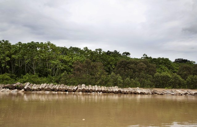 In this March 17, 2015 photo, illegally cut logs lay on the bank of the Putaya River between the Ashaninka Indian communities of Saweto and Puerto Putaya, Peru. Illegal logging persists unabated in this remote Amazon community where four indigenous leaders who resisted it were slain in September. (Photo by Martin Mejia/AP Photo)