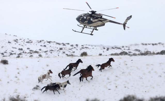 Wild horses are herded into corrals by a helicopter during a Bureau of Land Management round-up outside Milford, Utah, U.S., January 7, 2017. (Photo by Jim Urquhart/Reuters)