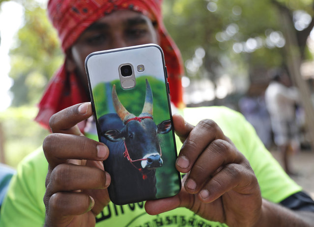 In this Thursday, January 17, 2019, photo, a photo of a bull is displayed on the mobile phone of Indian tamer M. Jayakumar at a traditional bull-taming festival called Jallikattu, in the village of Allanganallur, near Madurai, Tamil Nadu state, India. (Photo by Aijaz Rahi/AP Photo)