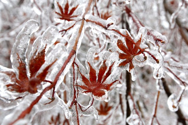 A layer of ice coats the leaves of a Japanese maple tree after an ice storm in Toronto, on December 22, 2013. (Photo by Chris Helgren/Reuters)