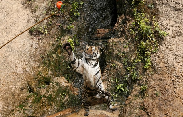 A tiger jumps while it is being trained at the Tiger Temple in Kanchanaburi province, west of Bangkok, Thailand, February 25, 2016. (Photo by Chaiwat Subprasom/Reuters)
