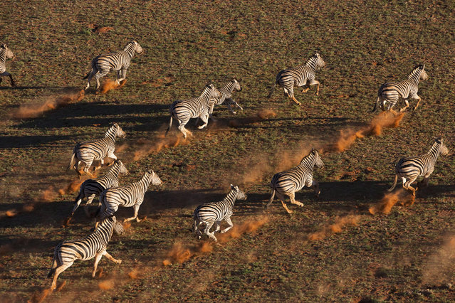 A herd of zebra kick up dust as they run across the desert, in October, 2014, in the Namib Desert, Namibia. (Photo by Theo Allofs/Barcroft Media)