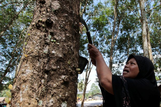 A woman works in a rubber plantation in Yala province, southern Thailand, January 30, 2017. (Photo by Surapan Boonthanom/Reuters)
