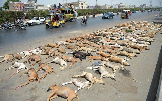 Pakistani commuters drive past a pile of dog carcasses at the road side in Karachi on May 12, 2015. The city municipality has launched a campaign to eliminate stray dogs whose numbers are increasing alarmingly. (Photo by Rizwan Tabassum/AFP Photo)