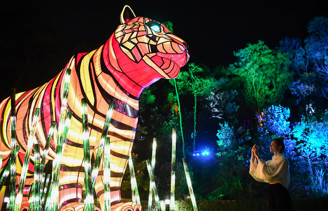 A woman takes a photo on her mobile phone of a tiger during the media preview of Vivid Sydney at Taronga Zoo on May 19, 2019 in Sydney, Australia. (Photo by James D. Morgan/Getty Images)