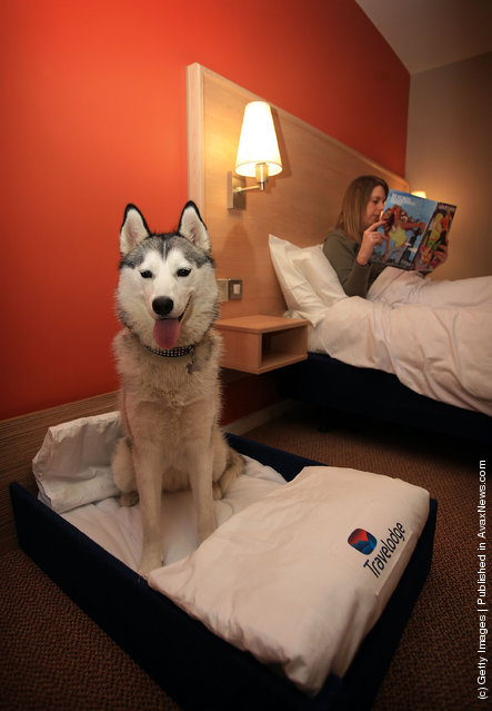 Siberian Husky relaxes in her own Kingsize hotel bed