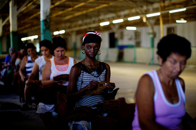 Workers prepare tobacco leaves at a tobacco factory in Cuba's western province of Pinar del Rio, Cuba on March 3, 2017. (Photo by Alexandre Meneghini/Reuters)