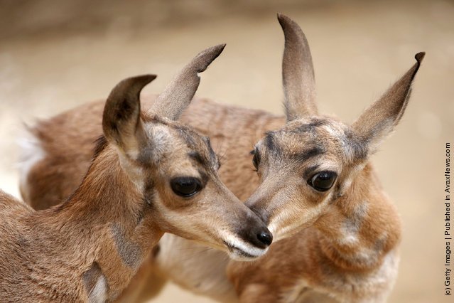 Two rare Peninsular pronghorns