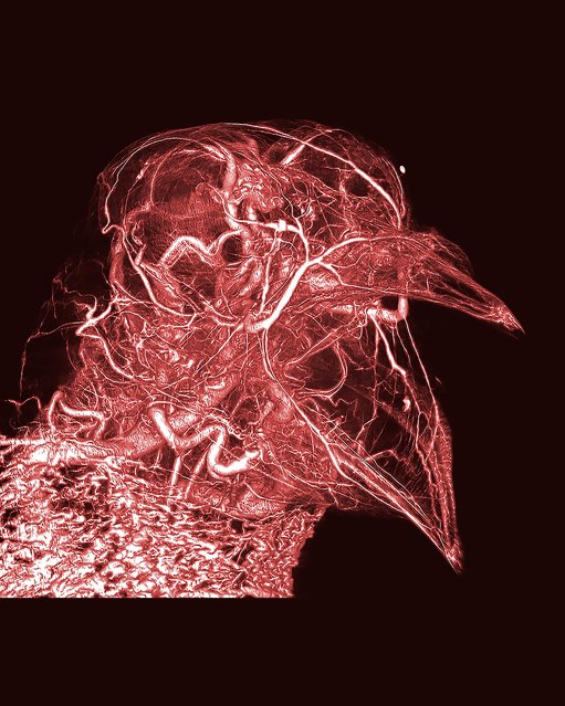 Pigeon thermoregulation. Bright, dramatic and intricate, this image reveals the network of blood vessels in a humble pigeon. Produced from CT scans, the image was made possible by the creator's development of a novel contrast agent – a type of substance that helps to improve the visibility of structures within the body in medical imaging. (Photo by Scott Echols/Scarlet Imaging and the Grey Parrot Anatomy Project/Wellcome Images)