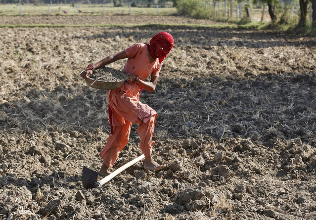 A farmer with her face covered carries soil as she prepares her field for sowing rice seeds on the outskirts of Ahmedabad, June 10, 2015. (Photo by Amit Dave/Reuters)
