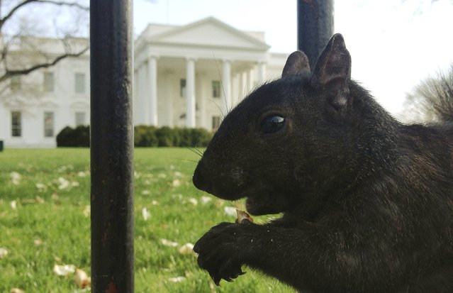 A squirrel eats a piece of cracker dropped by a tourist at the north fence of the White House in Washington, April 11, 2014. (Photo by Jim Bourg/Reuters)
