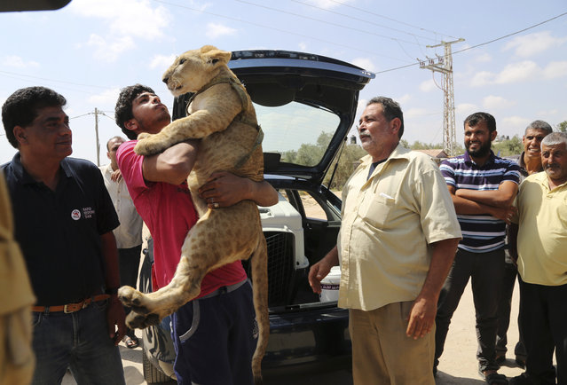 Ibrahim Al-Jamal, 17, hugs Mona, the female lion cub, as his father Saduldin, 54, right, looks on, before the two lion cubs depart from Gaza to the Erez border crossing between Israel and the Gaza Strip, in Beit Hanoun, in the northern Gaza Strip, Friday, July 3, 2015. (Photo by Adel Hana/AP Photo)