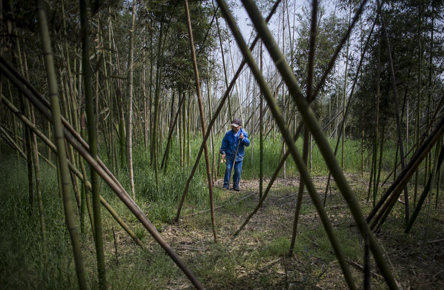 This picture taken on April 12, 2017 shows Xu Weifu holding bamboo while he harvests in Taihuyuan near the city of Lin'an, Zhejiang Province. (Photo by Johannes Eisele/AFP Photo)