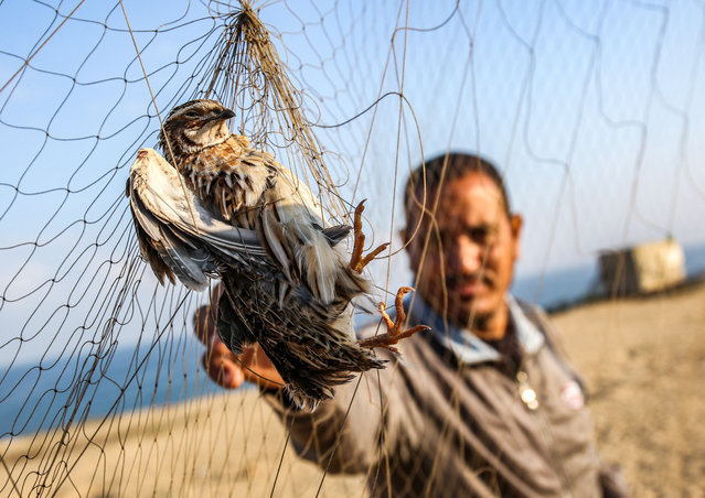 A Palestinian reaches for a migrant quail snared in a trapping net on a beach in Khan Yunis in southern Gaza Strip on September 11, 2019. Palestinians erect hundreds of meters of yellow silk nets along the coastline in the Gaza Strip to hunt migratory birds, mainly quails, which start arriving to the coasts of the Mediterranean in September of each year. (Photo by Said Khatib/AFP Photo)
