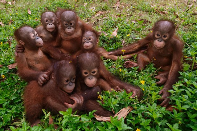 These cheeky young orangutans managed to behave themselves for a few minutes as they huddled together for a family portrait. (Photo by Solent News and Photo Agency)