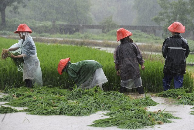 Farmers rush to transplant paddy on a flooded field amid heavy rainfall in Zhuzhou, Hunan province, China, July 24, 2015. Approximately a million people have been affected by severe downpours in several Chinese provinces, causing collapsed houses, decimating crops as well as blocking highways, Xinhua News Agency reported. (Photo by Reuters/China Daily)