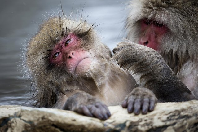Macaque monkeys bathe in a hot spring at the Jigokudani Yaen-koen wild Macaque monkey park on February 8, 2019 in Yamanouchi, Japan. The wild Japanese macaques are known as snow monkeys, according to the park's official website. (Photo by Tomohiro Ohsumi/Getty Images)