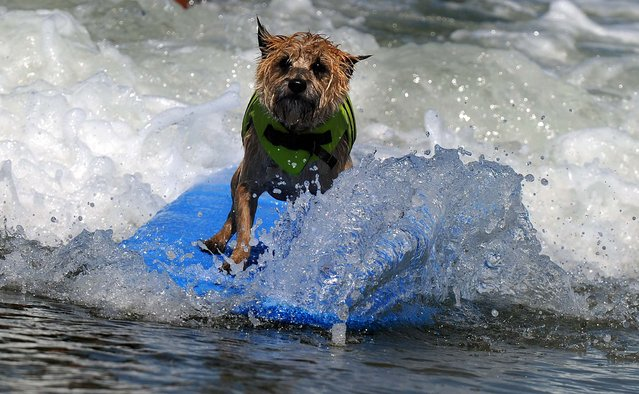 A dog competes during the during the 6th annual Loews Coronado Bay resort surf dog competition in Imperial Beach