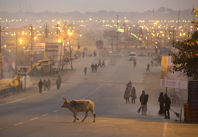 A cow crosses a road leading to the banks of the Ganges river, in the northern Indian city of Allahabad January 10, 2013. (Photo by Ahmad Masood/Reuters)