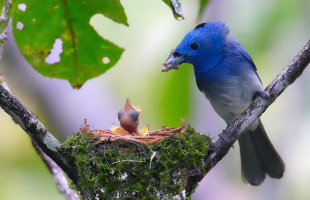 This picture was taken on June 13, 2016 shows a male Black-naped Monarch, Hypothymis azurea oberholseri, feeding his babies at a nest in a park in Taipei. The adult male black-naped monarch is about 16 cm long and is mainly pale azure blue apart from a whitish lower belly. It has a black nape and a narrow black gorget. The female is duller and lacks the black markings. (Photo by Sam Yeh/AFP Photo)