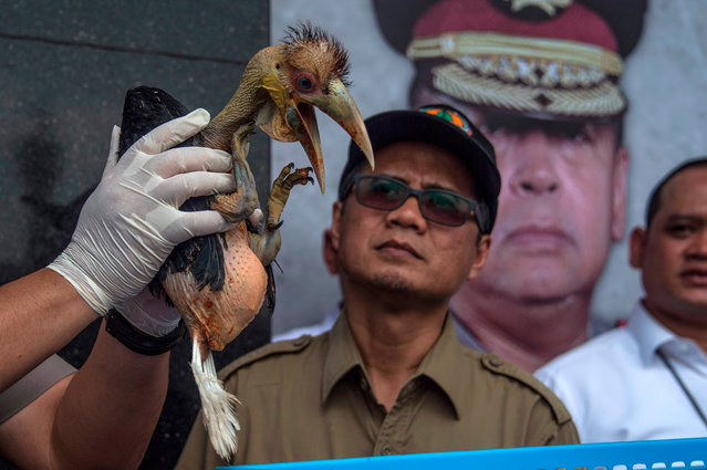 An Indonesian official displays a seized baby wreathed hornbill during a press conference in Surabaya, East Java on February 4, 2020. Indonesian authorities said early January they had seized 27 cockatoo parrots and dozens of other animals sold online, as the country battles to clamp down on illegal wildlife trade. (Photo by Juni Kriswanto/AFP Photo)