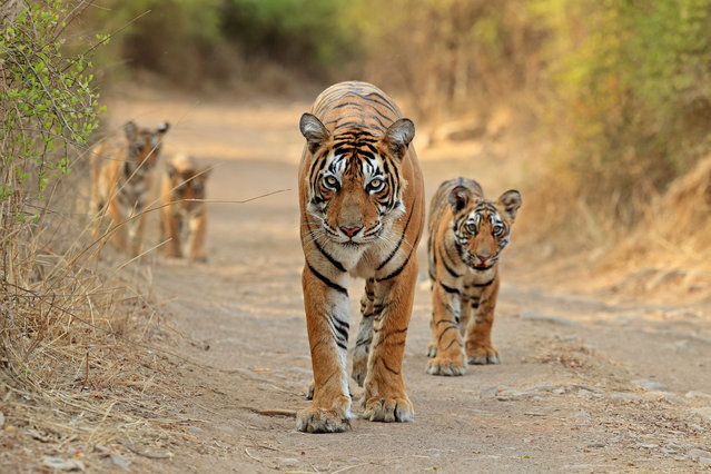 A mother Bengal tiger and her cubs at Ranthambore tiger reserve in Rajasthan, India on July 14, 2016. Having made a kill the day before, the mum and her well-fed youngsters were in good spirits – even taking time out to go for a quick swim. (Photo by Andy Rouse/Barcroft Images)
