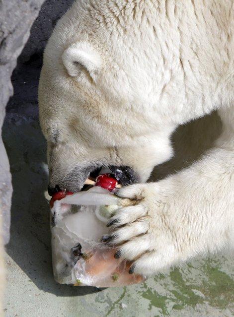 A polar bear eats frozen fruit cake inside its enclosure during a hot summer day at Prague Zoo, Czech Republic, August 23, 2015. (Photo by David W. Cerny/Reuters)