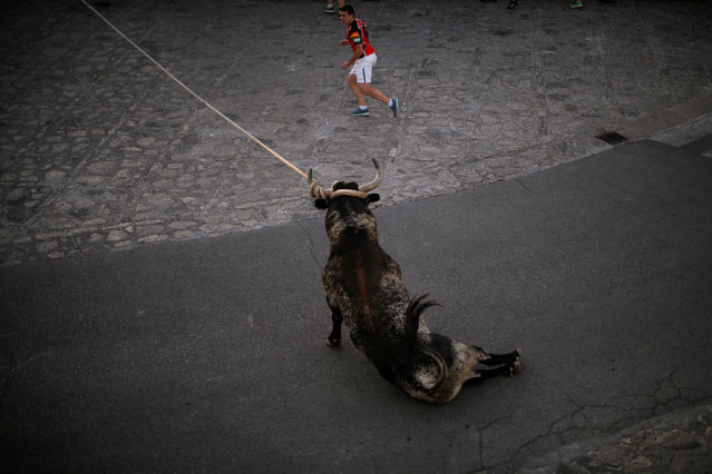 "A bull, named Culatero, falls next to a runner during the ""Toro de Cuerda"" (Bull on Rope) festival at Plaza de Espana square in Grazalema, southern Spain, July 18, 2016. (Photo by Jon Nazca/Reuters)"