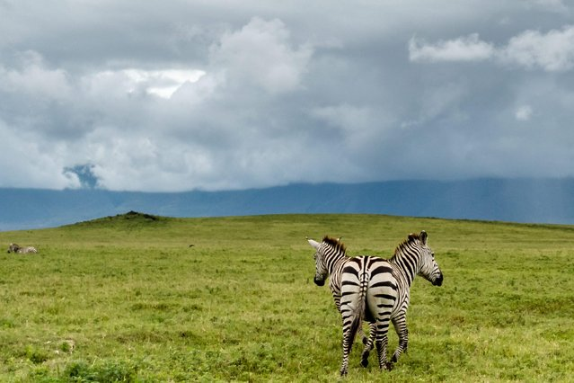 Two zebras stand so close in Ngorongoro Crater, Tanzania. (Photo by Zhayynn James/Solent News)