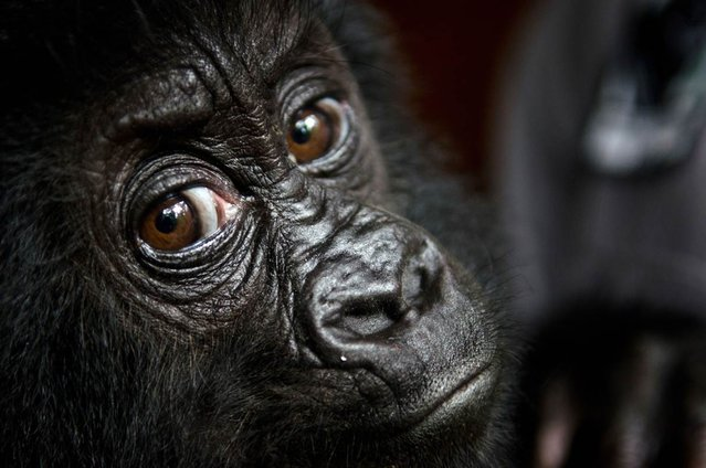 Isangi, a 9-month-old Grauer's gorilla, is moved to Virunga National Park headquarters in the Congo on September 19, 2012. The gorilla, who was rescued with another gorilla by wildlife authorities, was kidnapped from his family in the wild. The pair will be quarantined for a month and then moved to the Grace Center for Rescued Gorillas in east central Africa. (Photo by Luanne Cadd/AFP)
