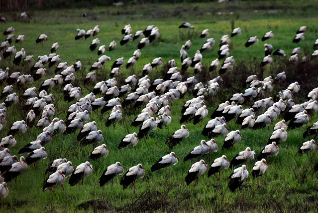 Storks land to sleep in Karadut area in Akdeniz district of Turkey's Mersin on March 21, 2020 as they migrate to warmer regions. (Photo by Serkan Avci/Anadolu Agency via Getty Images)