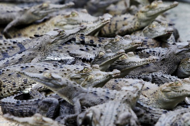 Young acutus crocodile are pictured at Panagator, a sustainable crocodile farm, on the outskirts of Panama City September 11, 2015. Gladys Vallarino, owner of the farm and of a specialty boutique shop selling items made from crocodiles, says the farm looks after more than 19,000 Acutus and Fuscus species of crocodiles and donates five percent of its crocodiles annually to the Panamanian authorities to be put into the wild. (Photo by Carlos Jasso/Reuters)