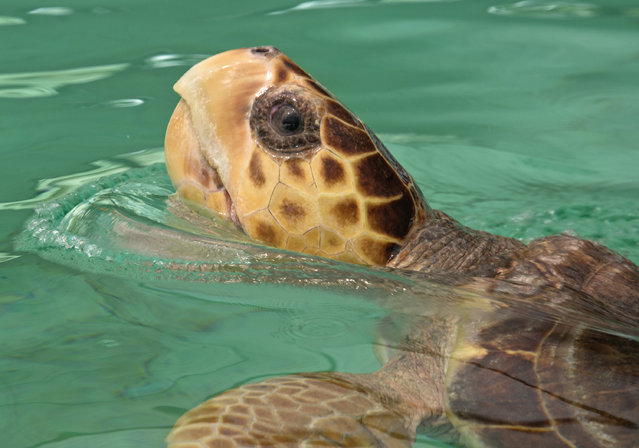 """In this Tuesday, September 23, 2014 photo provided by the Florida Keys News Bureau, """"Sapphire"""" a subadult loggerhead sea turtle, surfaces in a holding pool at the Florida Keys-based Turtle Hospital in Marathon, Fla. Because of a boat strike injury, the reptile cannot submerge without weights affixed to its carapace and can't be released. It is scheduled to travel Thursday, Sept. 25, via FedEx to its new permanent home at the Living Coast Discovery Center near San Diego. (Photo by Andy Newman/AP Photo/Florida Keys News Bureau)"""