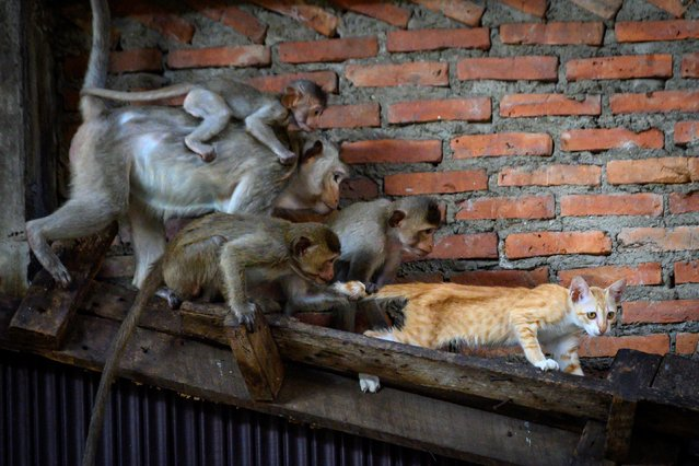 Longtail macaques pull the tail of a cat in an abandoned building in the town of Lopburi, some 155km north of Bangkok, on June 21, 2020. Lopburi's monkey population, which is the town's main tourist attraction, doubled to 6,000 in the last three years, forcing authorities to start a sterilisation campaign. (Photo by Mladen Antonov/AFP Photo)