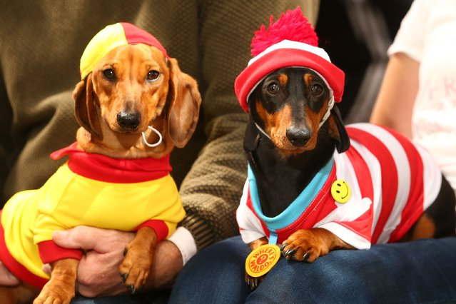 Willy, dressed as a surf livesaver and Mia, dressed as Where's Waldo? pose during the Hophaus Southgate Inaugural Best Dressed Dachshund on September 19, 2015 in Melbourne, Australia. 30 mini dachshunds, 6 standard dachshunds and 18 dachshund puppies all competed for first place and for Best Dressed Dachshund during the annual Oktoberfest celebration. (Photo by Scott Barbour/Getty Images)