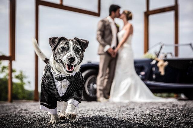 A dog ruins a couples wedding photo. (Photo by Arno de Bruijn/Caters News Agency)