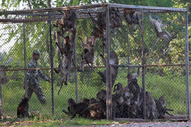 Long-tailed macaques are seen in a cage as a Thai wildlife department official walks past at a village in Bangkok, Thailand, September 21, 2015. (Photo by Chaiwat Subprasom/Reuters)