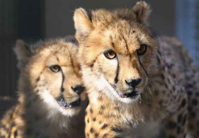 Two 9-month old Cheetahs are seen after they were released into a quarantine facility at Zoo Miami on November 29, 2012 in Miami, Florida.  The two sub-adult brothers who arrived today were captive-born on March 6th of this year at the Ann van Dyk Cheetah Centre just outside of Pretoria, South Africa. The Cheetahs, after being monitored and examined for a minimum of 30 days to insure that they are healthy and stable, will be featured in Zoo Miami's Wildlife Show at the newly constructed amphitheater and will continue the work of Zoo Miami's Cheetah Ambassador Program by making appearances off zoo grounds at a variety of venues including schools and civic organizations.  (Photo by Joe Raedle)