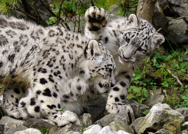 The two snow leopard twins Okara and Orya play at the zoo in Zurich, Switzerland, Wednesday, October 15, 2014. The cubs were born five and a half months ago. (Photo by Steffen Schmidt/AP Photo/Keystone)