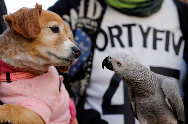 A dog and a parrot are about to be blessed during the celebrations of Sant Antoni del Porquet in Valencia, eastern Spain, January 17, 2018. (Photo by Juan Carlos Cardenas/EFE via ZUMA Press)