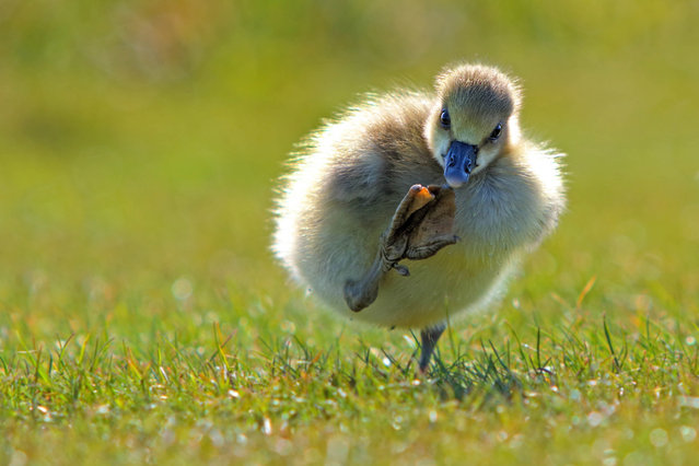 'Give me 3'. A duckling raises its foot. (Photo by Eric Gessmann/Comedy Wildlife Photography Awards/Mercury Press)