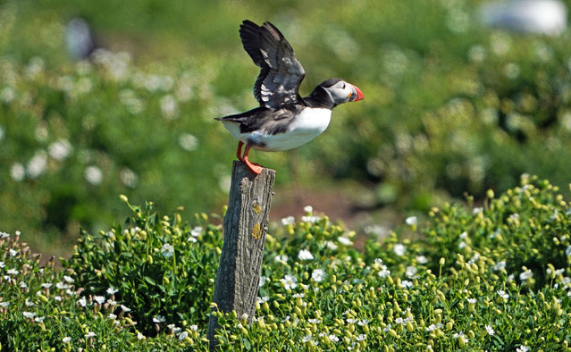 The National Trust has decided it needs to conduct a yearly census of the number of puffins on the remote Farne Islands in Northumberland instead of every five years, due to climate change, which is causing a decline in readily available food. (Photo by Owen Humphreys/PA Wire)