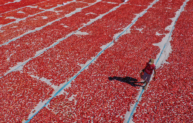 A drone photo shows an aerial view of tomatoes being dried in the sun at Torbali district in Izmir, Turkey on August 6, 2020. Tomatoes, collected by seasonal workers, are loaded onto trucks and tractors and transported to the processing fields, where massive white plastics are laid on the ground. Here, tomatoes are cut in half, with some being sulphured or salted depending on the demand, dried in the the sun for a week. (Photo by Halil Fidan/Anadolu Agency via Getty Images)